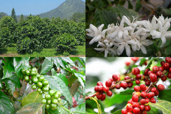 grow coffee