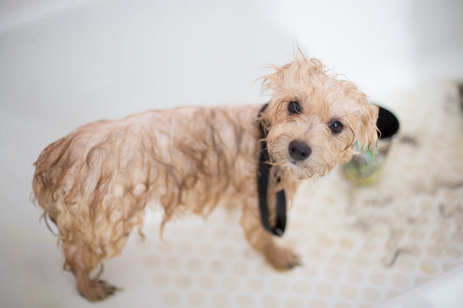 Is it good to bathe your dog every week3
