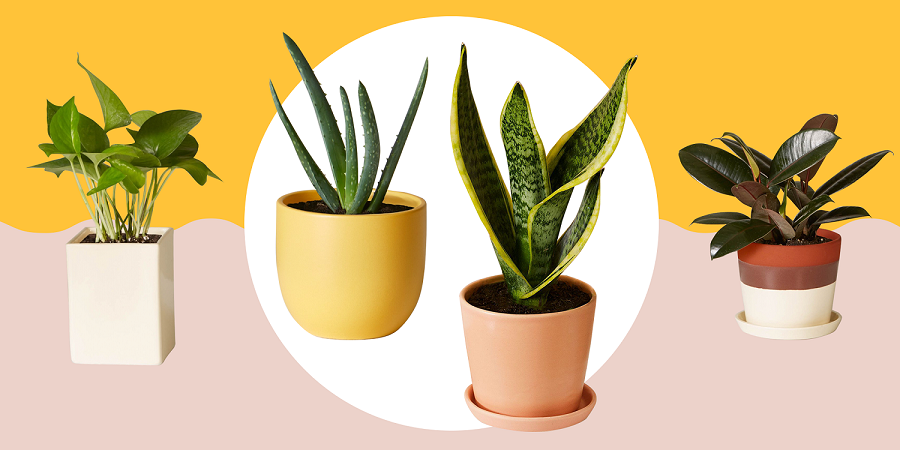 5 indoor plants that absorb harmful radiation-1