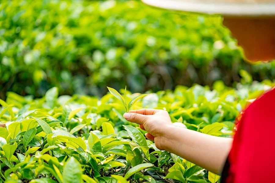 beginners' guide to choosing the best loose leaf tea-3